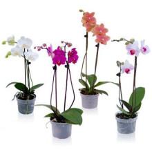 Орхидея, 2 ветки