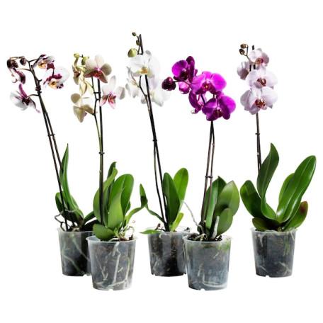 Орхидея, 1 ветка